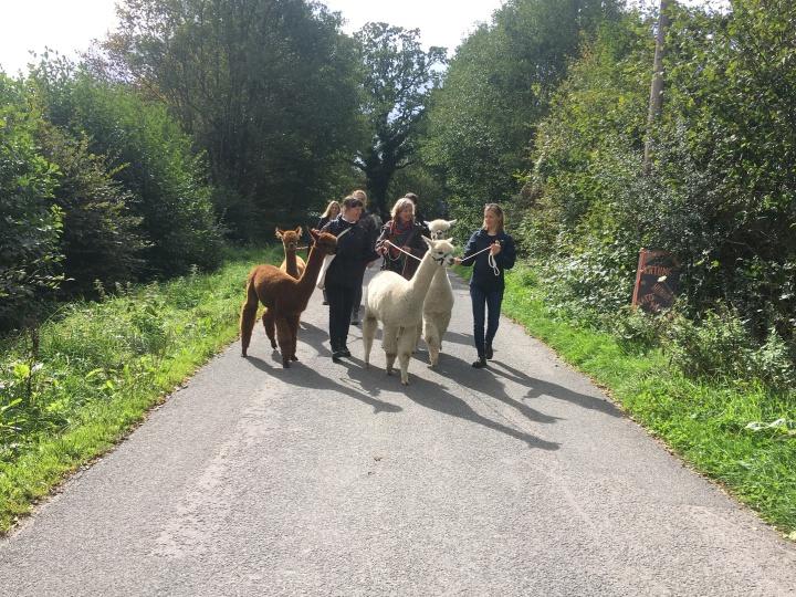 Alpaka Spaziergang